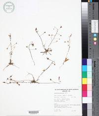 Image of Calandrinia polyandra