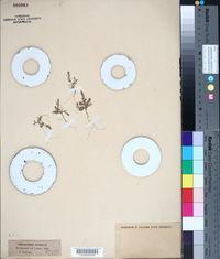 Image of Polycnemum arvense