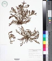 Image of Salicornia blackiana