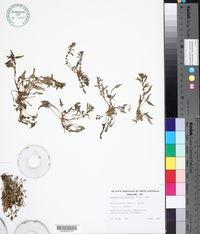 Image of Blitum atriplicinum