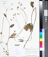 Image of Alternanthera paniculata