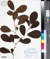 Image of Coccoloba floribunda