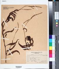 Image of Polygonum acuminatum