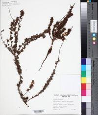 Image of Hibbertia fasciculata