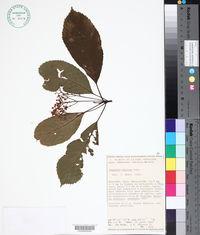 Saurauia yasicae image