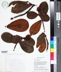Image of Clusia crassifolia