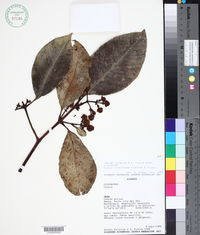 Image of Clusia loranthacea