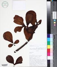 Image of Clusia multiflora