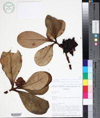 Image of Clusia sphaerocarpa