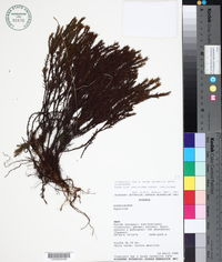 Image of Hypericum lancioides
