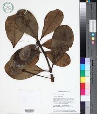 Image of Moronobea jenmanii