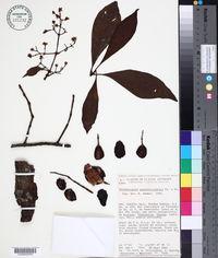 Image of Chrysochlamys psychotriifolia