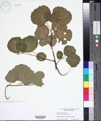 Image of Dombeya rotundifolia