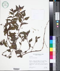 Image of Viola boliviana