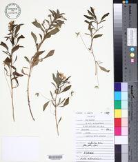 Viola arborescens image