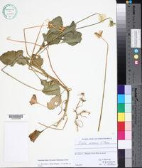 Image of Viola arsenica