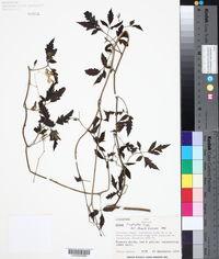 Loasa triphylla image