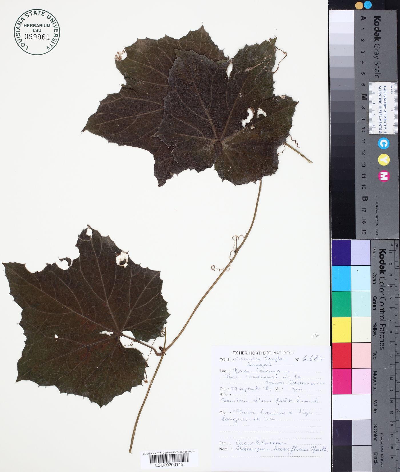 Adenopus breviflorus image