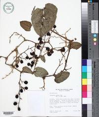 Image of Cayaponia pedata