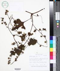 Cayaponia tayuya image