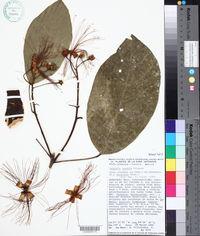 Capparidastrum mollicellum image