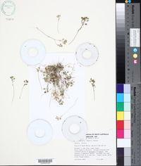 Image of Alyssum linifolium