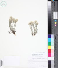 Image of Alyssum doerfleri