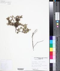 Image of Acrotriche patula