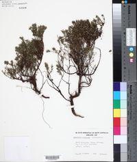Image of Acrotriche serrulata