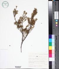 Image of Acrotriche cordata