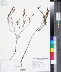 Image of Andersonia heterophylla