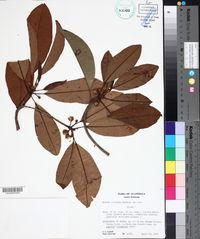 Image of Achras coriacea