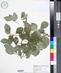 Sideroxylon palmeri image