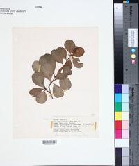 Image of Bumelia retusa
