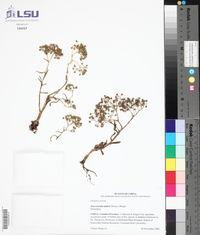 Image of Sinocrassula indica