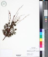 Image of Acaena elongata