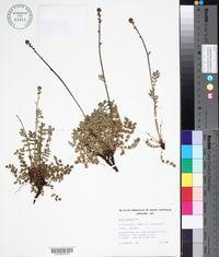 Image of Acaena echinata