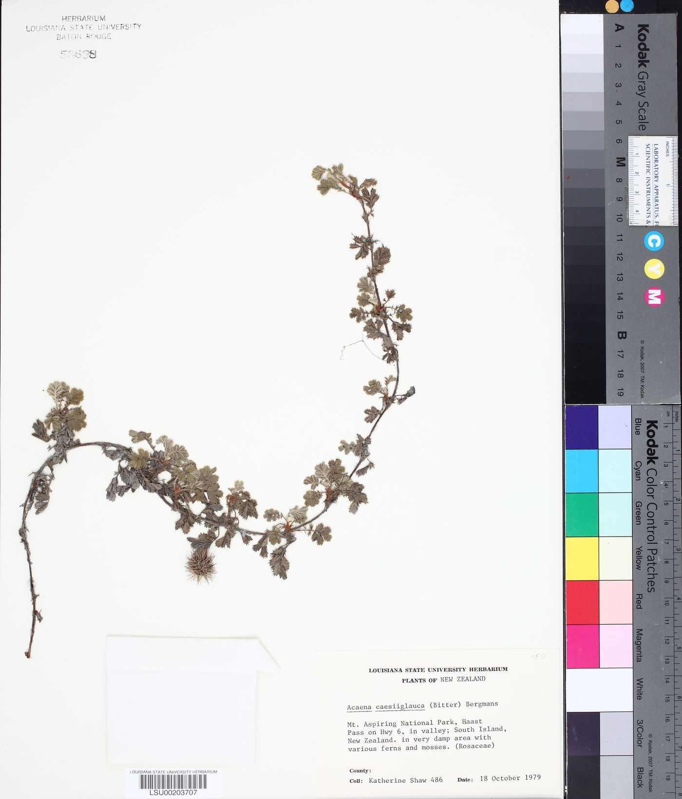 Acaena caesiglauca image