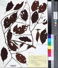 Image of Prunus annularis