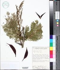 Image of Acacia mayana