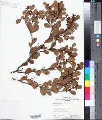Image of Acacia alpina