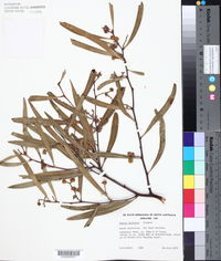 Image of Acacia beckleri