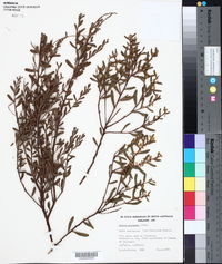 Acacia acinacea image