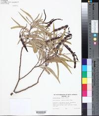 Image of Acacia confluens