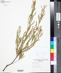 Image of Acacia dictyophleba
