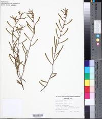 Image of Acacia farinosa