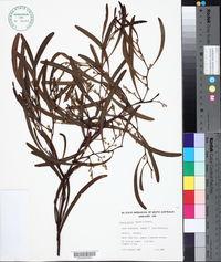 Image of Acacia gillii