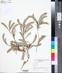Image of Acacia hemignosta