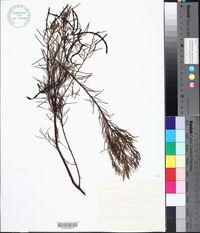 Image of Acacia nematophylla