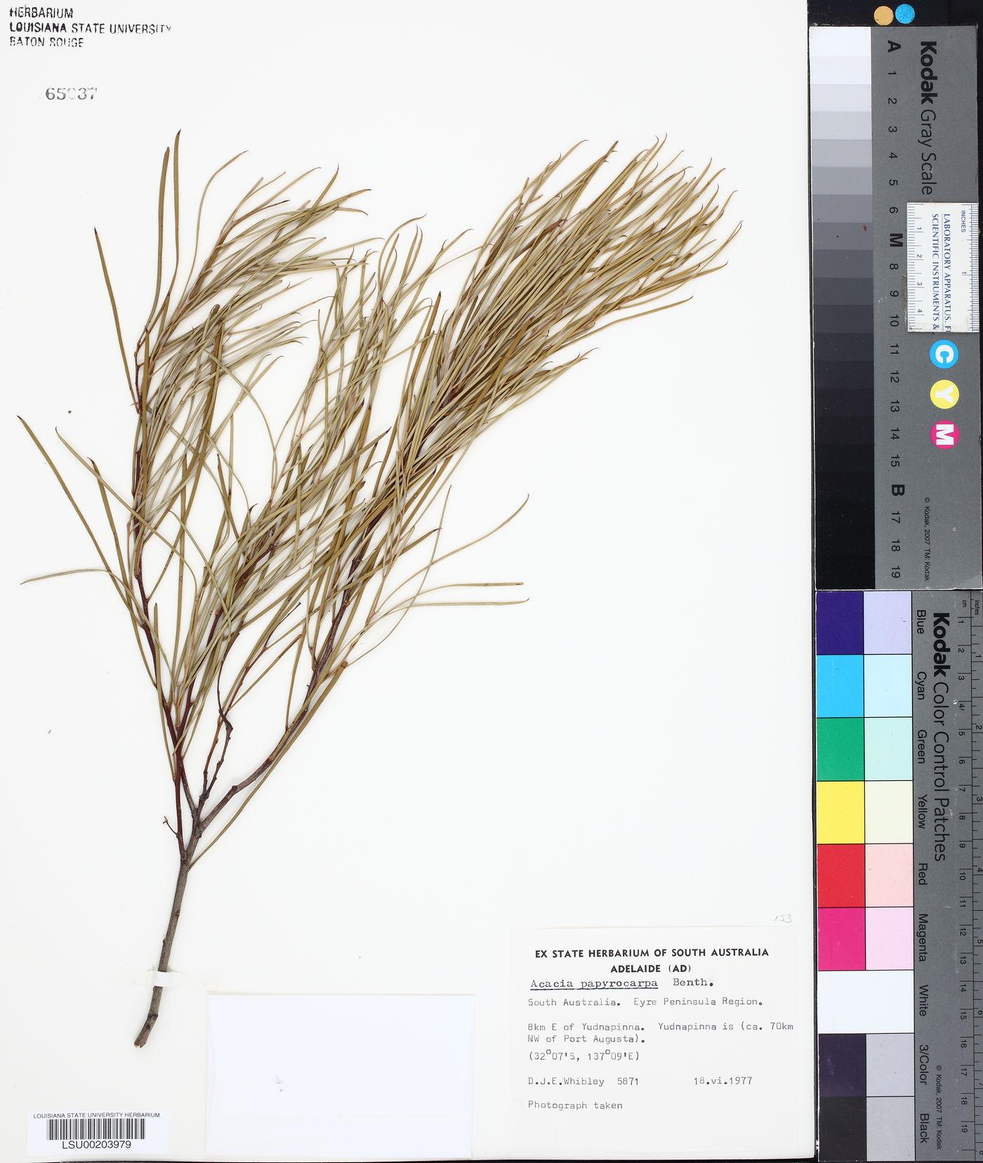 Acacia papyrocarpa image
